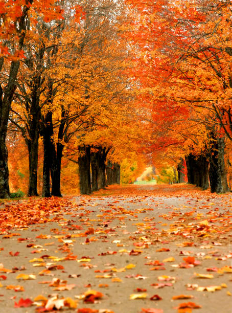 Ablaze in Orange Avenue of maples glow with Autumn orange in Harrison, Arkansas.  Single lane road disappears into distance with tunnel of overhanging limbs. ablaze stock pictures, royalty-free photos & images