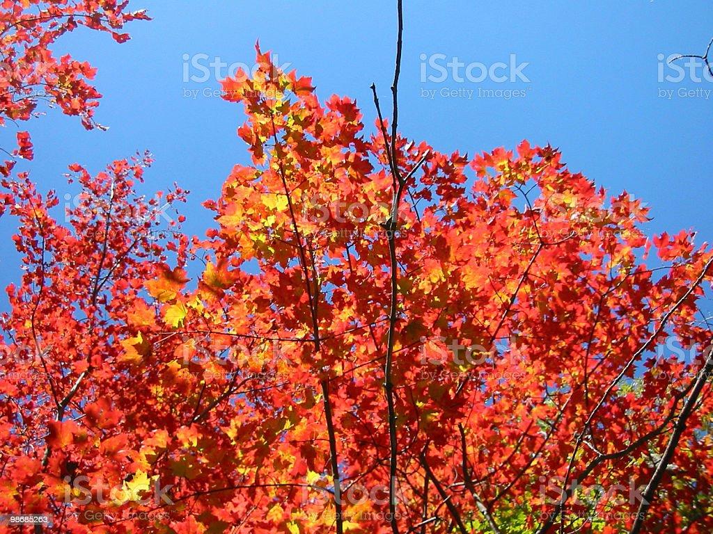 Ablaze - red, orange, golden, fiery leaves royalty-free stock photo