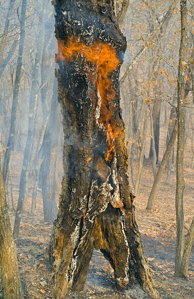 Ablaze tree An ablaze tree in forest fire. Early spring. ablaze stock pictures, royalty-free photos & images