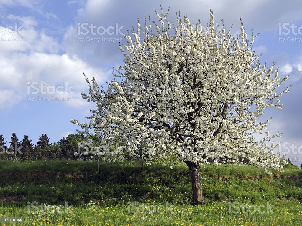 Ablooming Cherry Tree in Spring royalty-free stock photo