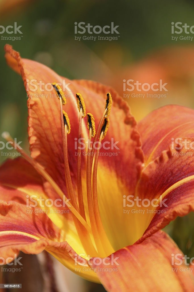 ablooming lily royalty-free stock photo
