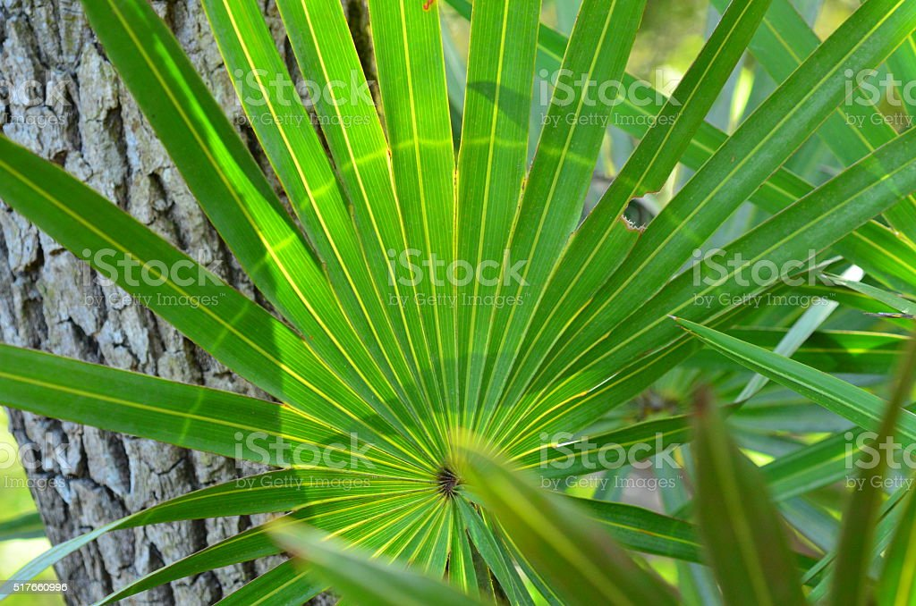 Abnormal green light ring on Saw Palmetto leaf stock photo