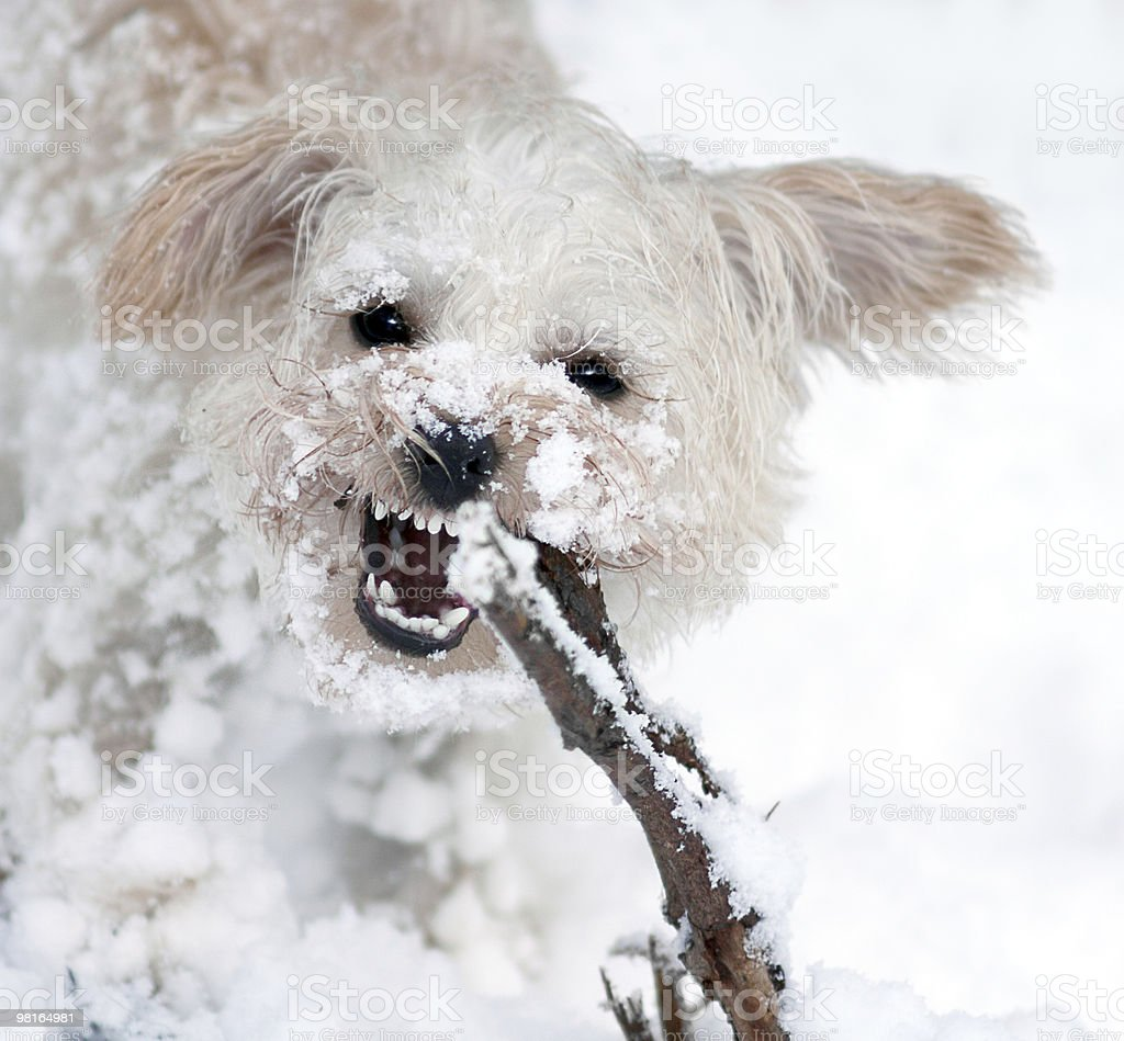 Abominable Snow Doggy royalty-free stock photo
