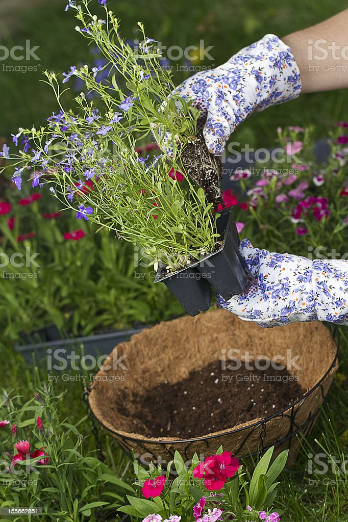 About to Plant Hanging Basket stock photo