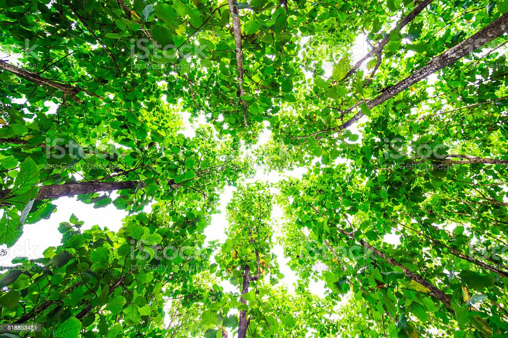 Above of Teak trees in an agricultural forest stock photo