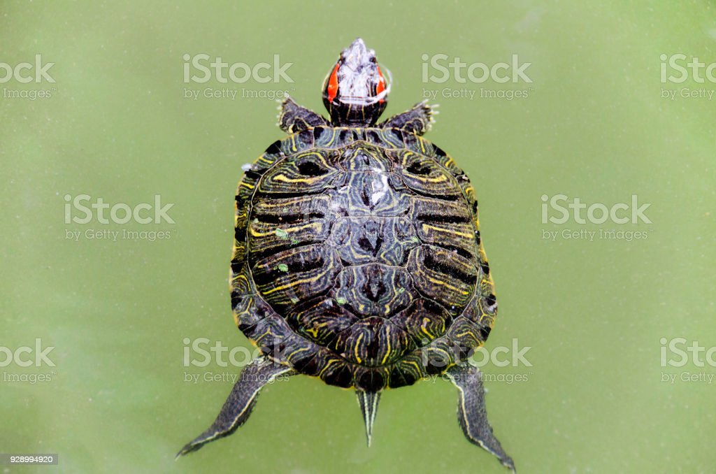 Above view of a small turtle in green waters stock photo