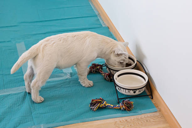 Above view of cute west highland white terrier puppy eats from bowls Above view of cute west highland white terrier puppy eats from bowls on training dog pet diaper pads on floor in room padding stock pictures, royalty-free photos & images