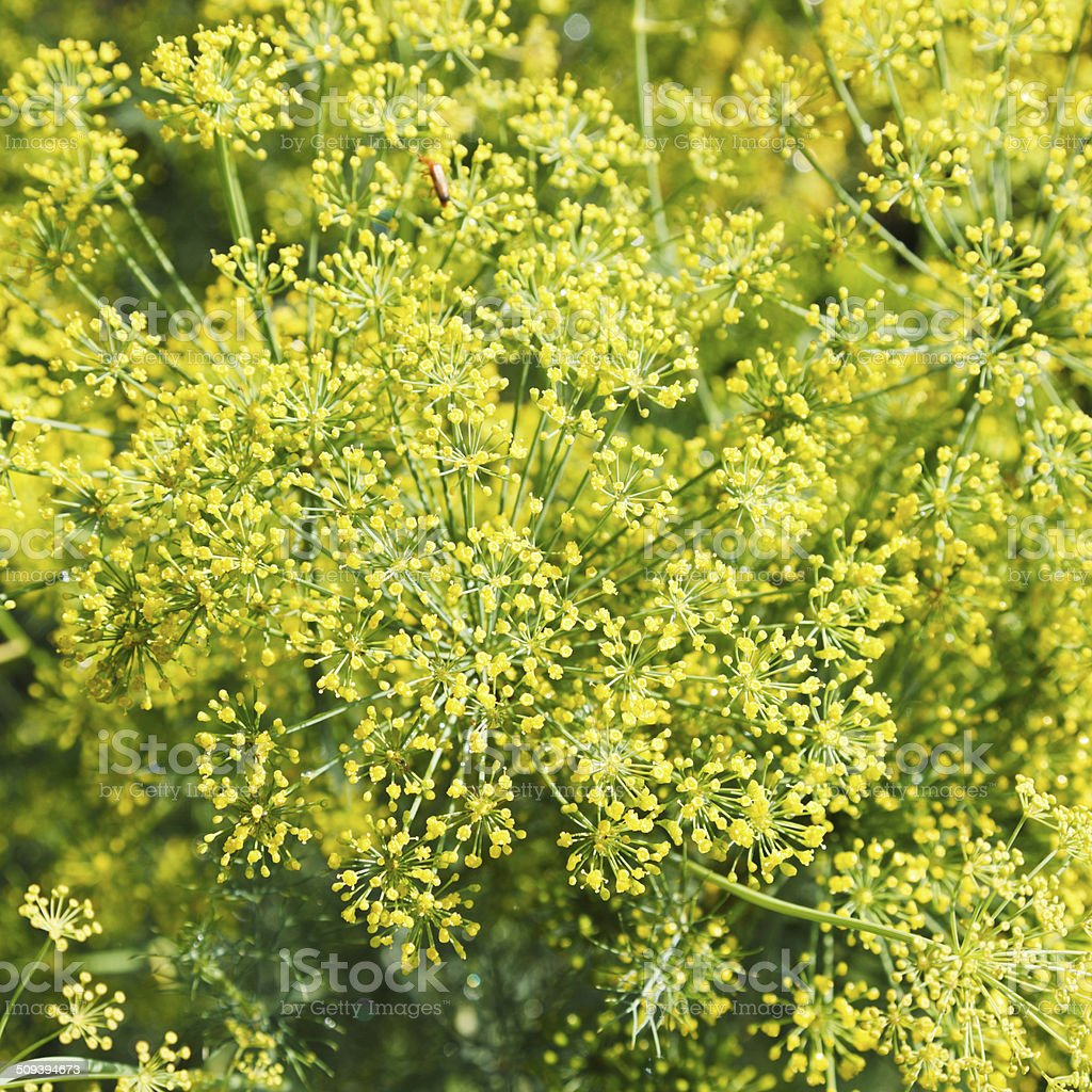 above view of yellow flowers on blooming dill stock photo