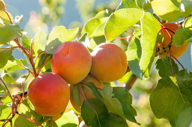 Abricot-sur l'arbre – Foto