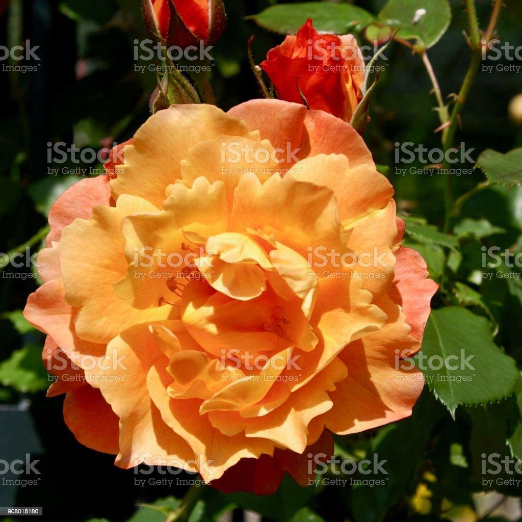 Abricote colored rose blossom stock photo