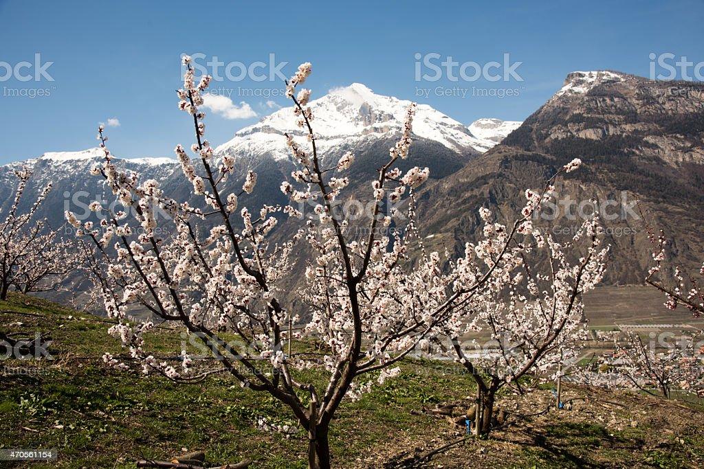 Abricotiers à Saxon stock photo
