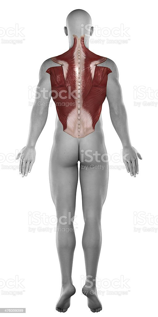 Abs back muscles antomy  posterior view stock photo
