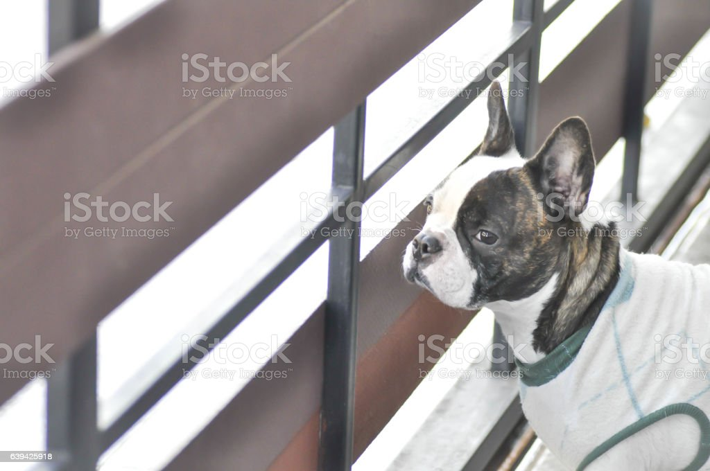 absent minded French bulldog ,   French bulldog near the fence stock photo