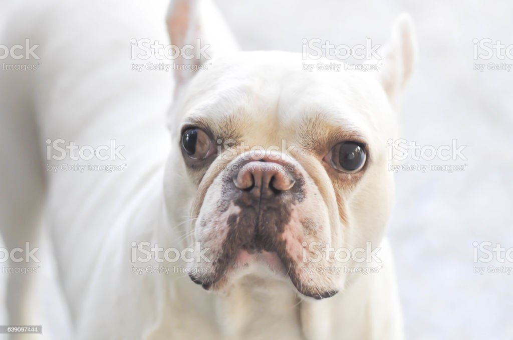 absent minded French bulldog or  French bulldog stock photo
