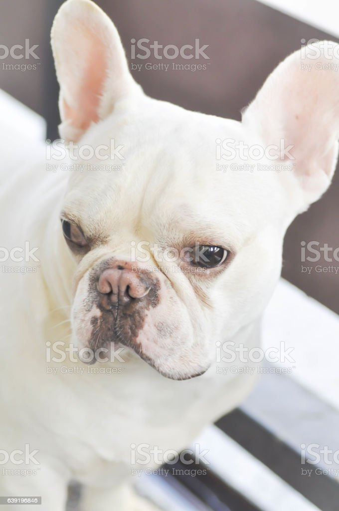 absent minded French bulldog ,  white French bulldog near the fence stock photo