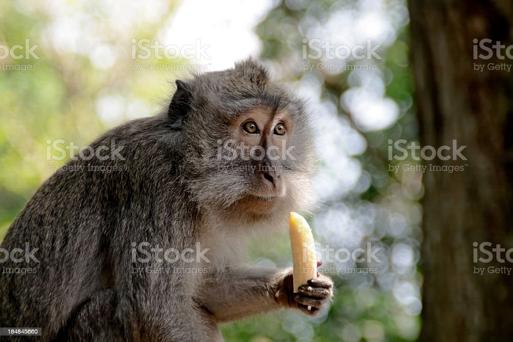 Absent-minded macaque stock photo