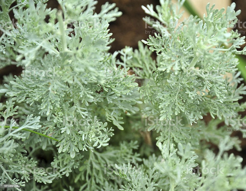 Absinthe wormwood plant stock photo