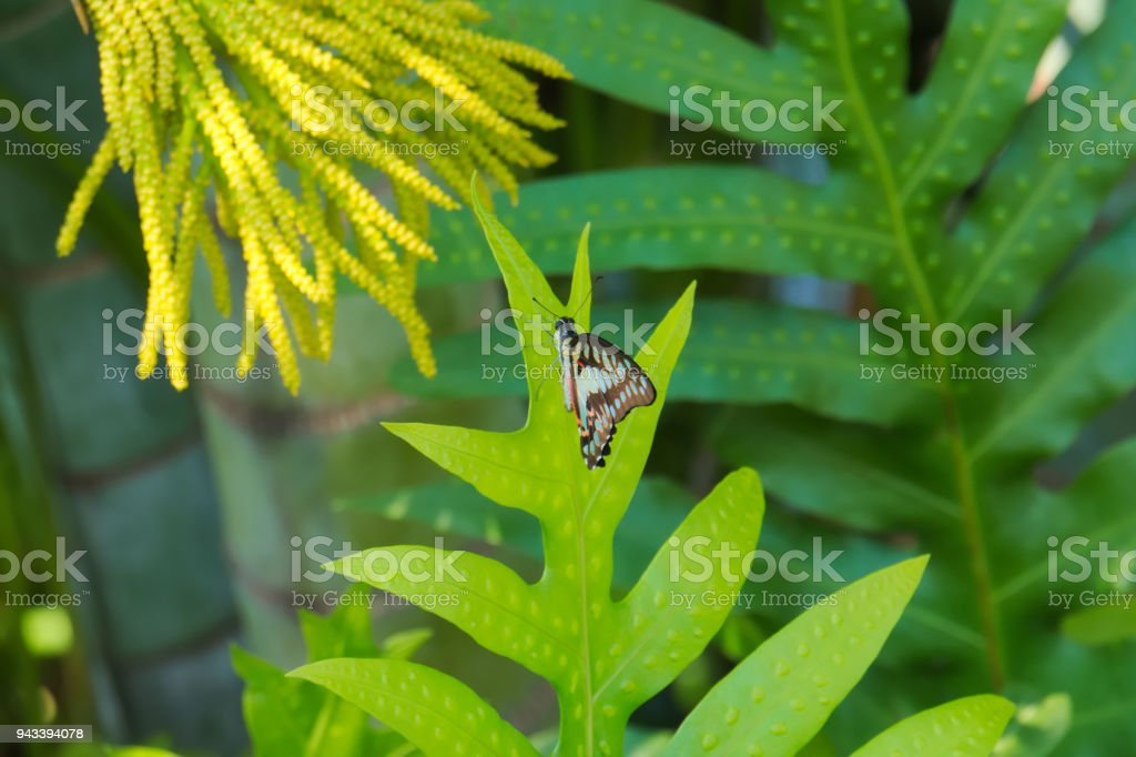 Absolutely beautiful sighting of a most amazing blue, black and sunset orange Asian butterfly in a bright green, lush Thai jungle forest surroundings. stock photo