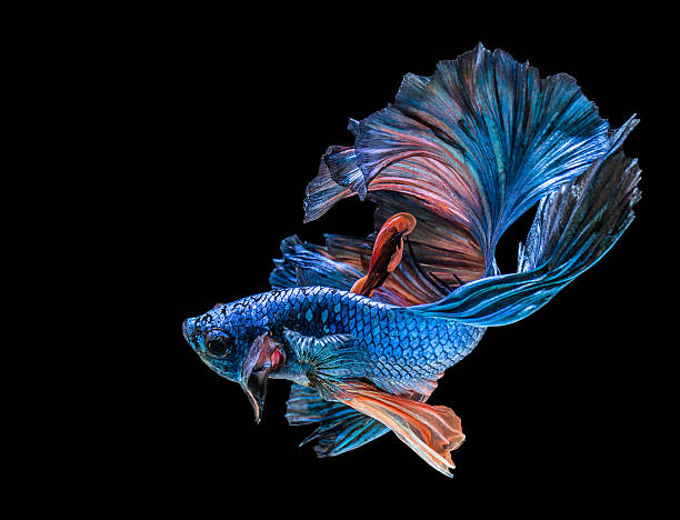 abstrack beautiful of siam Betta fish in thailand stock photo