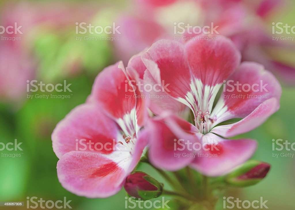 Abstrackt of a Nerium floral arrangement royalty-free stock photo
