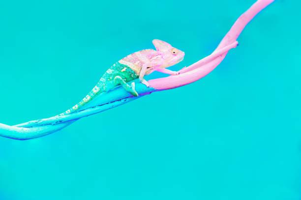 abstract animal background, agamidae animal wildlife, the cute chameleon is change two color on the tree. - kamuflaż zdjęcia i obrazy z banku zdjęć