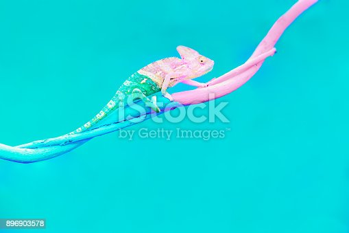 istock Abstract animal background, Agamidae animal wildlife, The cute chameleon is change two color on the tree. 896903578