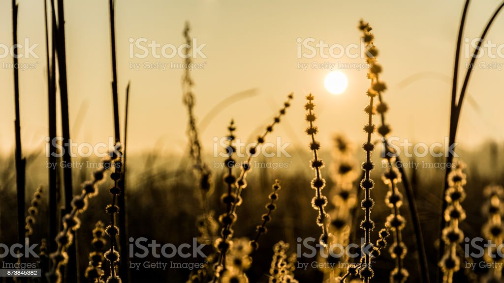 Abstract artistic scene with silhouettes of plants during sunrise. Carex echinata stock photo