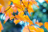 Abstract autumn background. Vibrant orange and yellow maple leaves close up. Tree branches with bright foliage on a blue blurred background