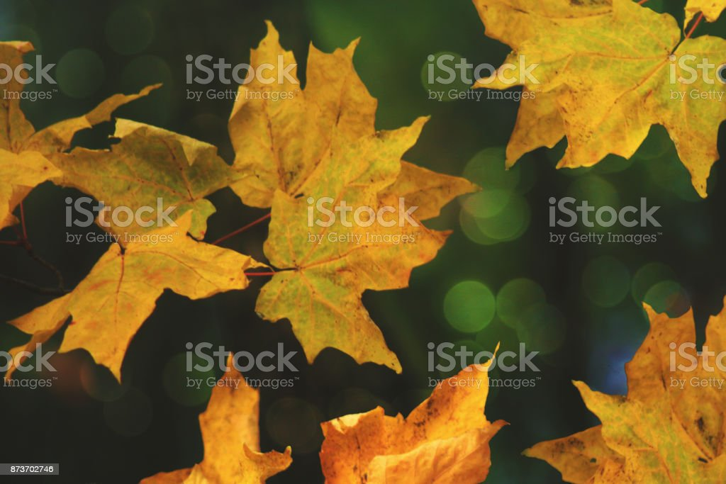 Abstract Autumn Yellow Maple Leaves For Fall With Defocused Bokeh...