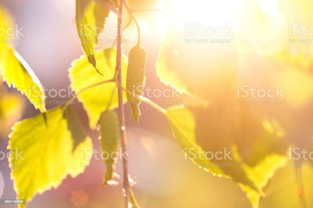abstract background - birch leaves in the rays of sunlight zbiór zdjęć royalty-free