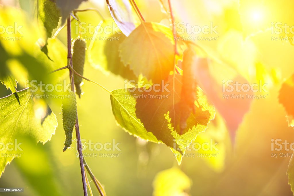 abstract background - birch leaves in the rays of sunlight royalty-free stock photo