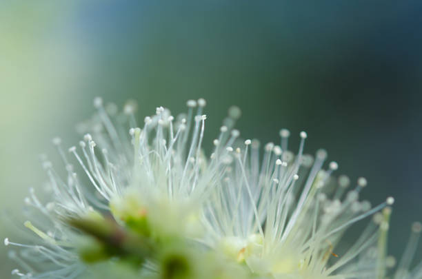 abstract background. blurred Melaleuca flower stock photo