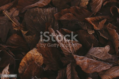 625881376 istock photo Abstract background of dry autumn leaves at winter. Hoarfrost on the leaves, atmospheric photo. Author processing, film effect, selective focus 1203249951