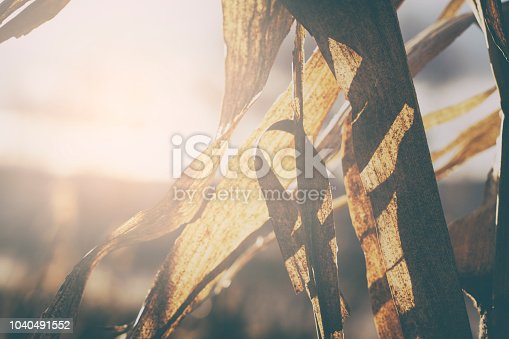 istock Abstract background of dry corn leaves 1040491552