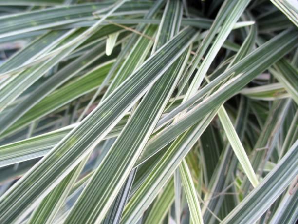 abstract hintergrund aus grünen und weißen blättern - liliana stock-fotos und bilder
