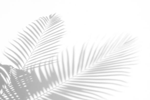 abstract background of shadows palm leaves on a white wall. White and Black stock photo