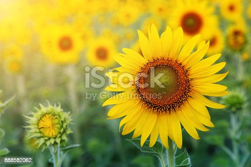 istock Abstract background of sunflower among sunlight 888582062