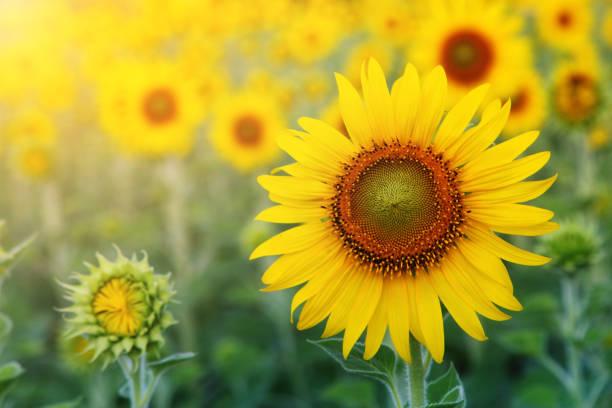 zusammenfassung hintergrund sonnenblume unter sonnenlicht - sonnenblume stock-fotos und bilder