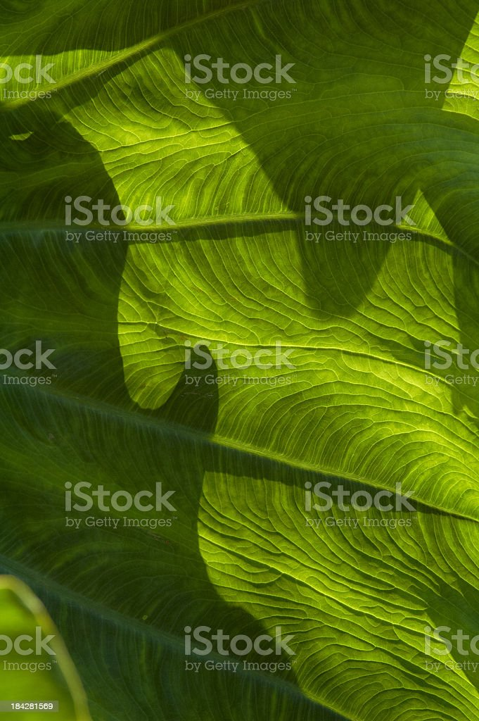 Abstract Background of Taro or Elephant Ear Leaves Texture stock photo