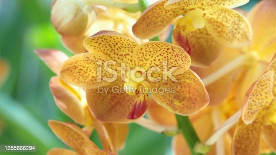 Abstract background of yellow orchids (vanda), focus of beautiful  vanda flowers, on blurred natural background.