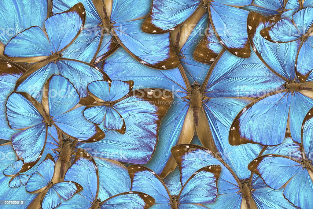 abstract background tropical butterflys Morpho menelaus stock photo