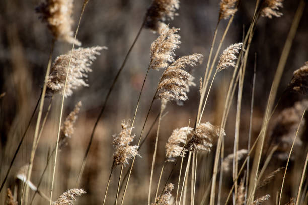 Abstract Backgrounds Conservation Spring Afternoon Brown Tall Grass stock photo