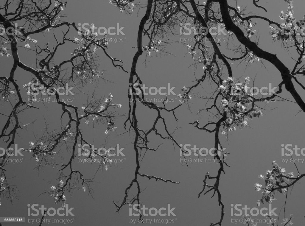 Abstract black and white background with acacia tree branches silhouettes with new spring leaves. 免版稅 stock photo