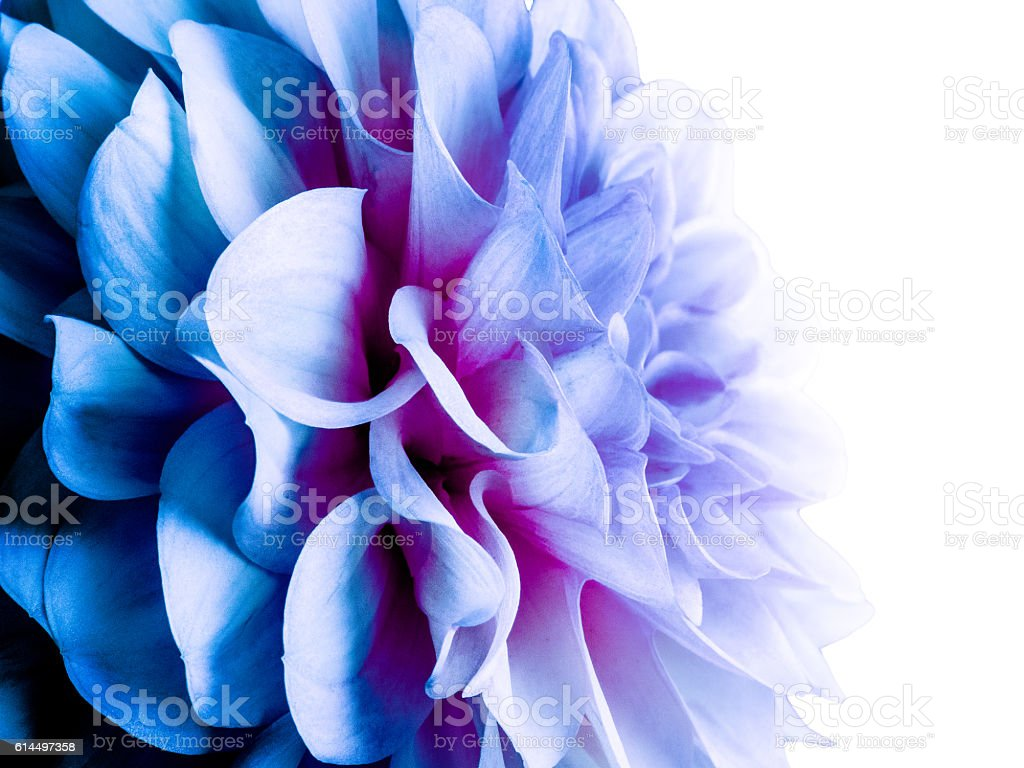 Abstract blue dahlia stock photo