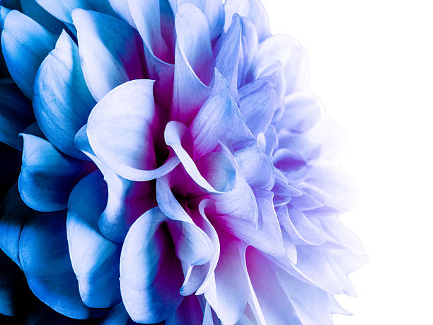 Abstract blue dahlia - Photo