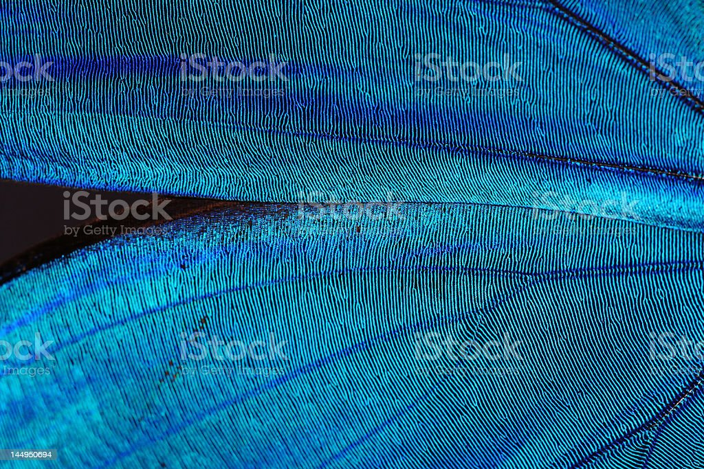 Abstract blue texture of shiny butterfly wings stock photo