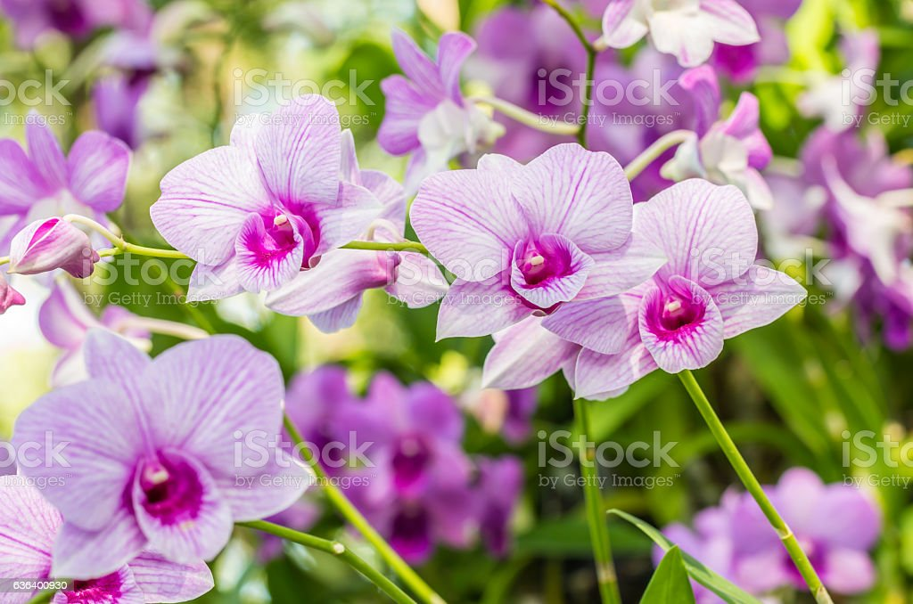 Abstract blurred background of purple orchids, Dendrobium. stock photo