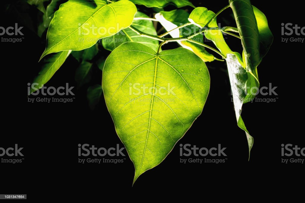abstract bodhi leaf in dark stock photo