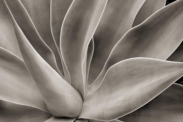 abstrait de cactus - sépia photos et images de collection