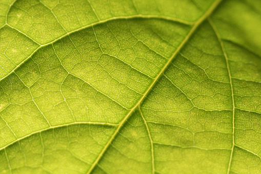 istock Abstract closeup green leaf texture background 1152456786